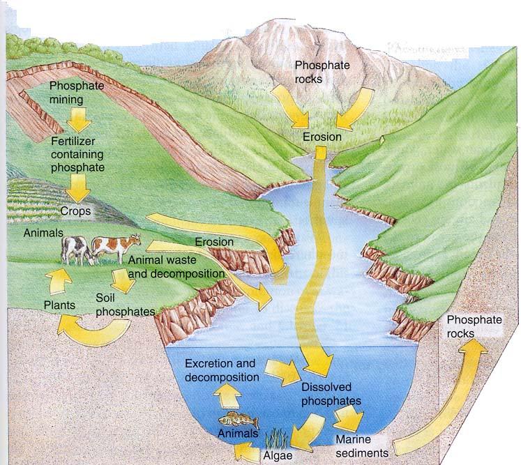Phosphours Cycle – Phosphorus Cycle Worksheet